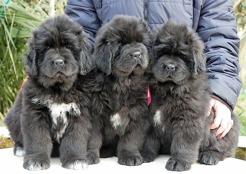 Allevamento cani di Terranova